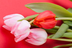 Spring background of dainty pink tulips Stock Photo