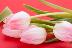 Spring background of dainty pink tulips Stock Image