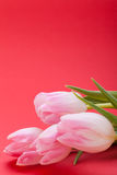 Spring background of dainty pink tulips Stock Photos