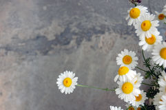 Spring background with daisies Stock Photo