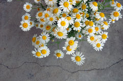 Spring background with daisies Royalty Free Stock Photo