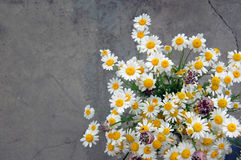 Spring background with daisies Royalty Free Stock Photography