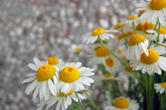 Spring background with daisies Royalty Free Stock Images