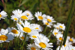 Spring background with daisies Royalty Free Stock Photos