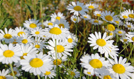Spring background with daisies Stock Images