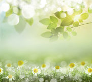 Spring background with daisies. Boke Royalty Free Stock Photography