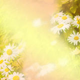 Spring background with daisies Stock Image