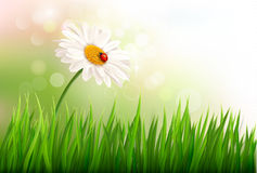 Spring background with a daisy and a ladybug. Vector Stock Images