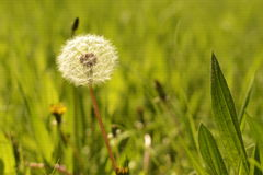 Spring background, dandelion in the grass. Beautiful spring dandelion on a grass background Royalty Free Stock Photo