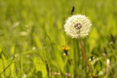 Spring background, dandelion in the grass. Beautiful spring dandelion on a grass background Stock Photos