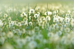 Spring background with dandelion seeds Stock Photo