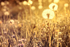 Spring. Spring background. Dandelions between grass in vintage colors Stock Photography