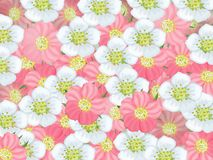 Spring background. Delicate flowers. Background of white and pink flowers of apple and sakura Stock Photography