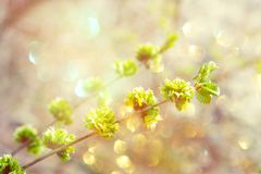 Spring background, . First spring gentle leaves, buds and branches close up with sun light and bokeh background. Spring background, banner. First spring gentle royalty free stock photography