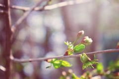 Spring background. First spring gentle leaves, buds and branches close up with sun light and bokeh background. Spring background, banner. First spring gentle royalty free stock photography