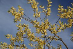 Spring flowering willow Royalty Free Stock Images