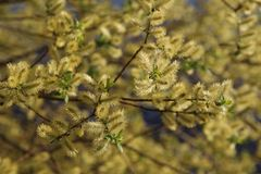 Spring flowering willow Stock Photography