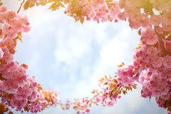 Spring background with flowering Japanese oriental cherry sakura. Blossom, pink buds with soft sunlight against the sky, soft focus, with space for text and Royalty Free Stock Image