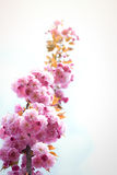 Spring background with flowering Japanese oriental cherry sakura Royalty Free Stock Images