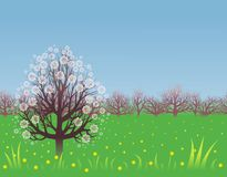 Spring background with a flowering tree. Flowering fruit tree and yellow dandelions on a green lawn Royalty Free Stock Photos