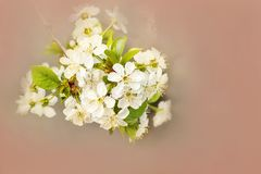 Spring background with a flowering tree closeup and copy space. A branch of a flowering tree on a coral background royalty free stock photo