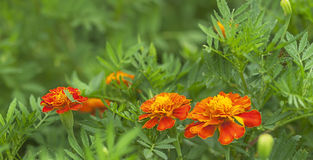 Spring background fresh marigold flowers Stock Photos