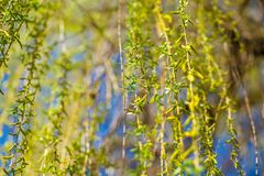 Spring background with fresh willow leaves. Spring background with bright fresh willow leaves royalty free stock image