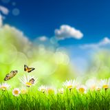 Spring background with grass and camomiles. Spring background with grass, camomiles and butterflies over blue sky Royalty Free Stock Photo