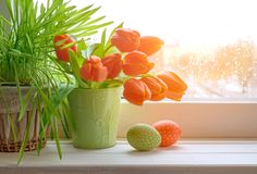 Spring background with green grass, Easter eggs and bunch of ora. Nge tulips on window board on a sunset after rain. Space for your text Stock Images