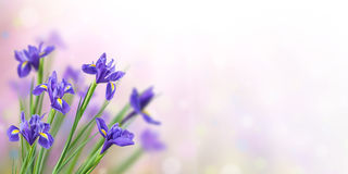 Spring Background with Iris. Spring nature background with beautiful iris flowers Stock Photo