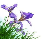 Free Spring Background Iris Purple Flower On Green Grass Isolated  In White Background Space For Your Text Message Stock Image - 178258771