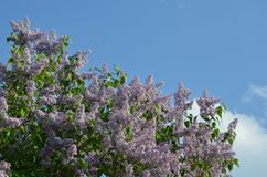 Spring background with lilac flowers in spring garden. Blooming spring lilac flowers lit by sunlight. Selective focus at the centr royalty free stock photo