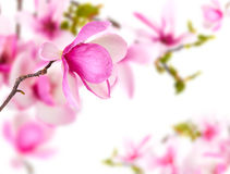 Spring background with magnolia Royalty Free Stock Image