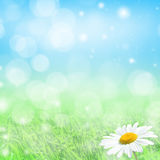 Spring background. Spring natural  background with green grass and daisies Stock Photos