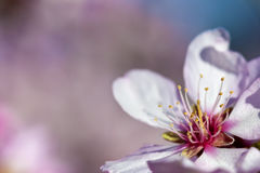Spring background with pink almond flower stock photography