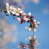 Spring background with pink almond flower Royalty Free Stock Image