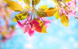 Spring background with pink blossom. Beautiful nature scene with blooming tree against blue sky.  royalty free stock photography