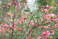 Spring background, pink flowers and green buds Stock Photography