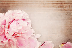 Spring Background with Pink Peony Flower Royalty Free Stock Image