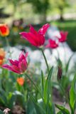 Spring background with pink tulips blossom. Spring flower on natural bokeh background. Beautiful natural background. Royalty Free Stock Image