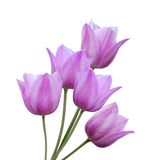 Spring background of pink tulips Stock Photo