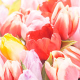 Spring background of pink and yellow tulips Royalty Free Stock Images