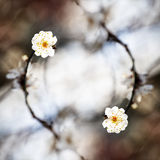 Spring background with plum flowers Stock Images