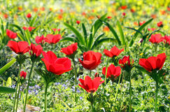 Spring background with poppies Royalty Free Stock Image