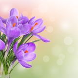 Spring background with purple crocus flowers Stock Images