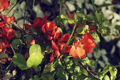 Spring background with red flowers of Japanese quince. Chaenomeles japonica branches macro shot. Stock Photos