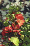 Spring background with red flowers of Japanese quince. Chaenomeles japonica branches macro shot. Stock Photo