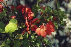 Spring background with red flowers of Japanese quince. Chaenomeles japonica branches macro shot. royalty free stock photo