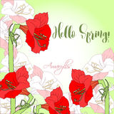 Spring  background with red pink amaryllis. Royalty Free Stock Images