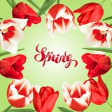 Spring background with red and white tulips. Beautiful realistic flowers, buds and leaves.  Stock Images